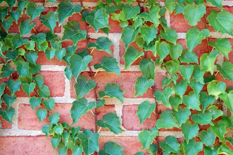 常春藤藤墙壁 库存图片