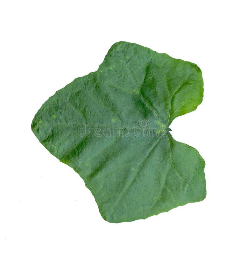 常春藤金瓜叶子被隔绝的白色背景 库存图片