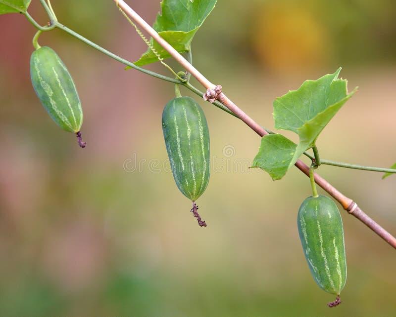 常春藤金瓜或Coccina Grandis 库存照片