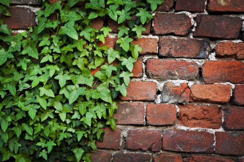 常春藤离开砖墙纹理 库存照片
