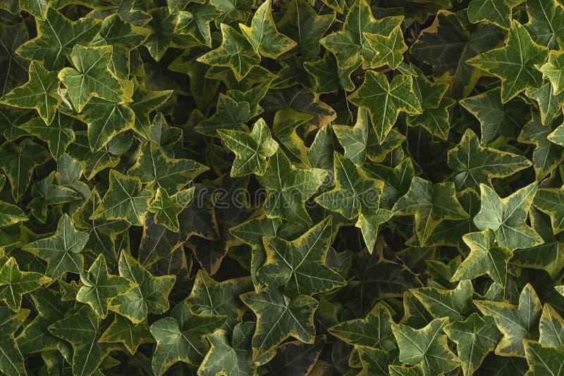 常春藤离开细节,常春藤属,绿色植物细节宏观摄影  库存照片