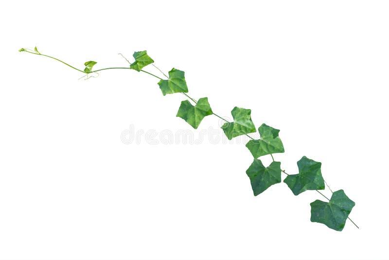 常春藤 藤植物,在w隔绝的上升的植物的常春藤叶子 库存图片