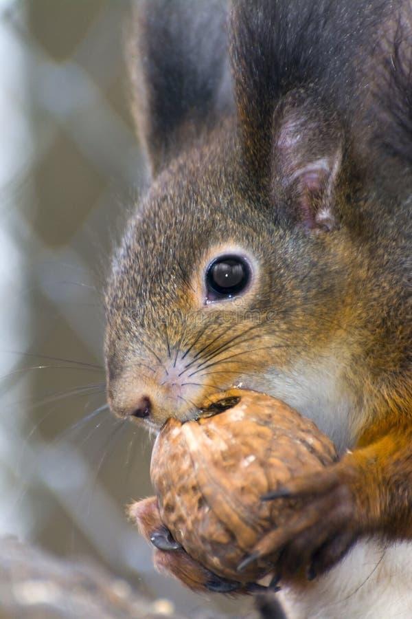 寻常欧亚红色中型松鼠的灰鼠 库存照片
