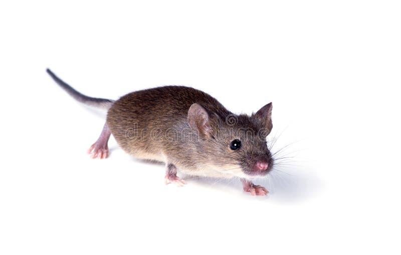 寻常的家鼠(Mus肌肉)悄悄地走近白色backgroun 库存图片