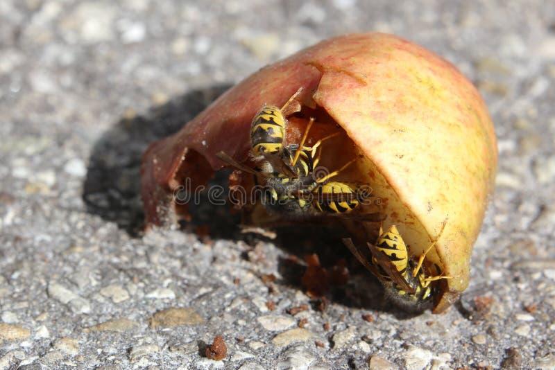 寻常的群居黄蜂,共同的黄蜂,在苹果 免版税库存照片