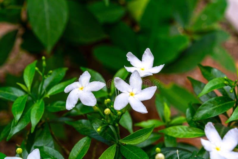 常绿乳液植物divaricata花宏观射击  库存图片