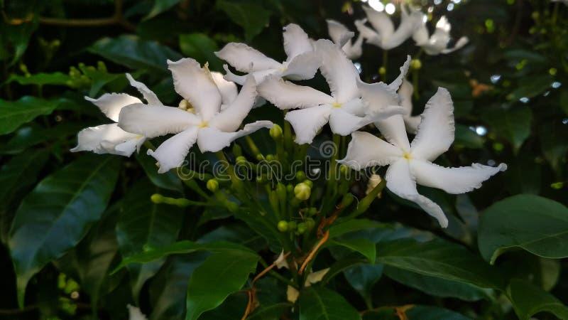 常绿乳液植物divaricata,pinwheelflower,绉纱茉莉花,有吸引力的nero的冠 库存照片