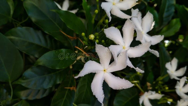 常绿乳液植物divaricata,pinwheelflower,绉纱茉莉花,有吸引力的nero的冠 库存图片