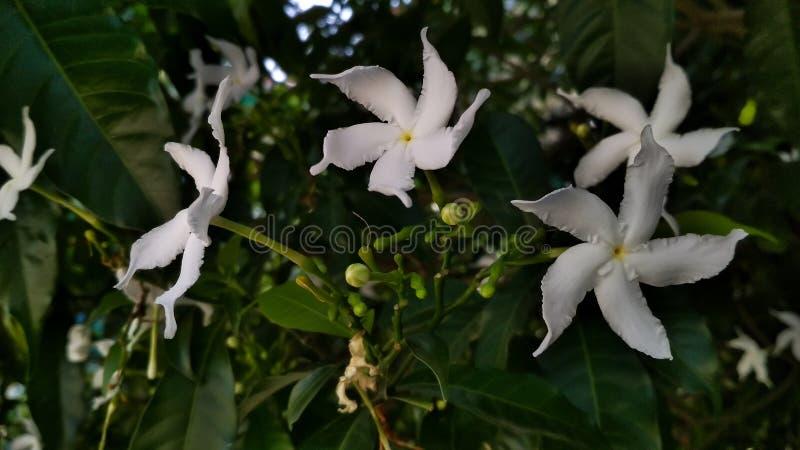 常绿乳液植物divaricata,pinwheelflower,绉纱茉莉花,有吸引力的nero的冠 免版税库存图片