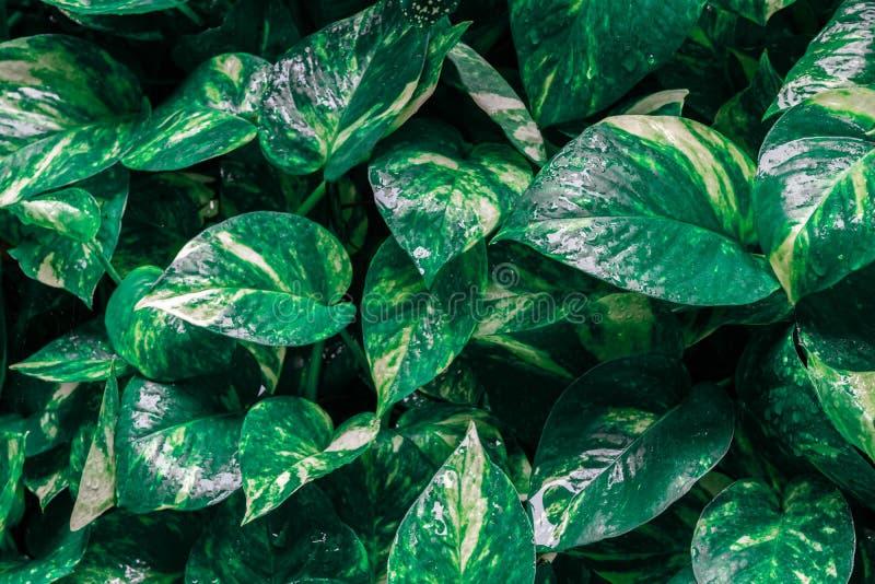 常绿藤本植物aureum或金黄pothos植物有水下落的在下雨的天纹理背景 摘要热带绿色叶子 库存图片