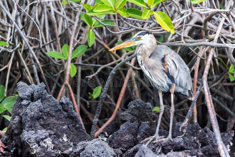 常设伟大蓝色的苍鹭的巢 库存图片