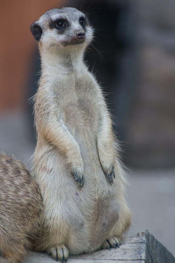 常设suricate 免版税图库摄影