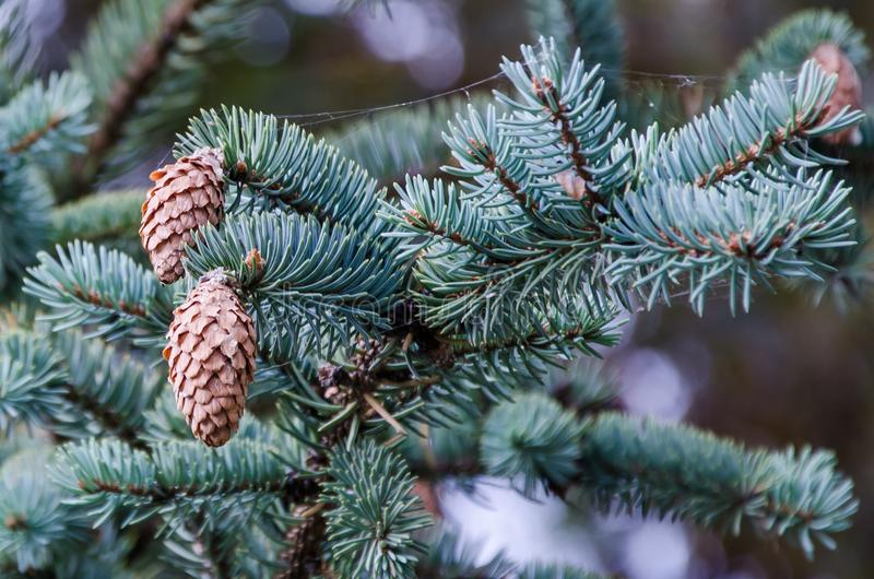 常青结构树 库存图片