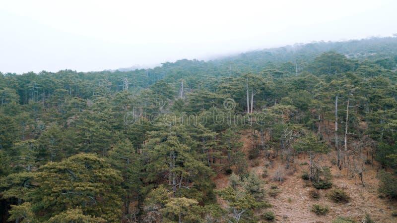 常青针叶树montains的杉木森林  免版税库存照片