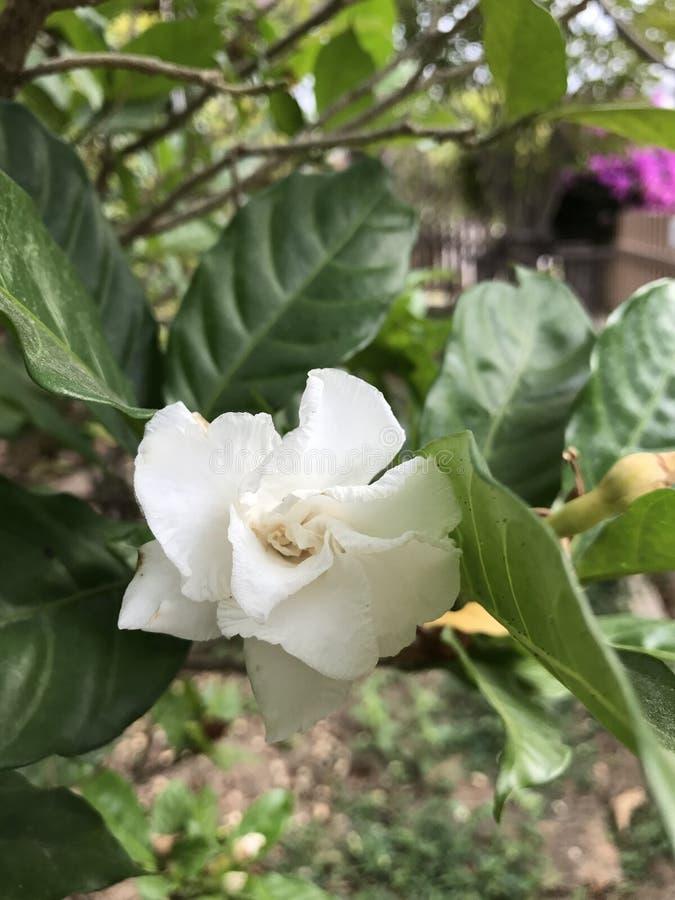常绿乳液植物divaricata或绉纱茉莉花花 免版税图库摄影