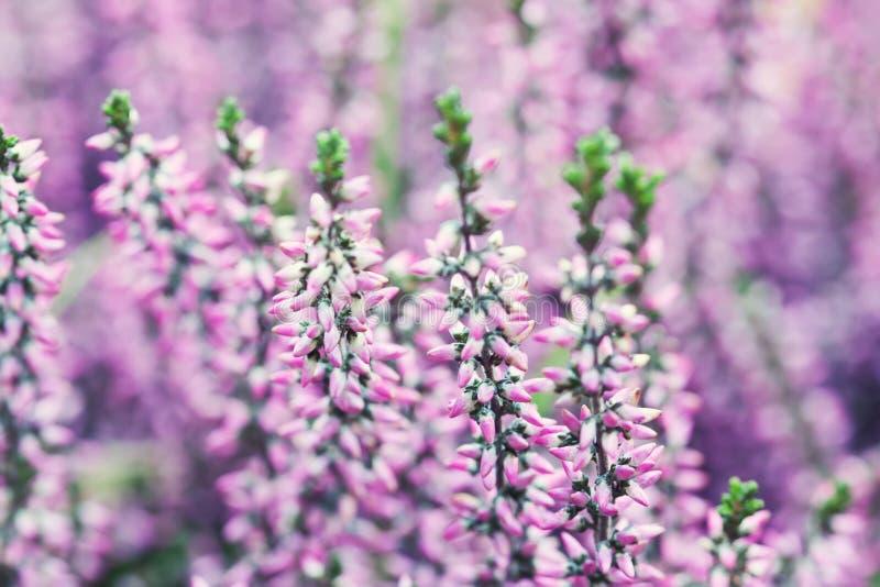 寻常紫罗兰色石南花花田的紧急电报 小桃红色淡紫色植物,白色背景 软绵绵地集中 复制浅的空间 免版税库存照片