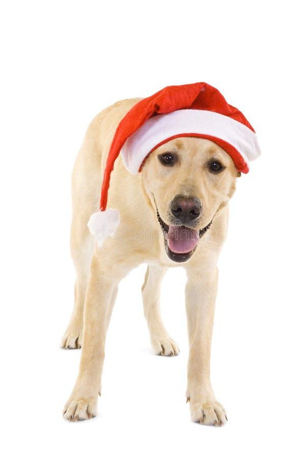帽子拉布拉多猎犬圣诞老人佩带 库存照片