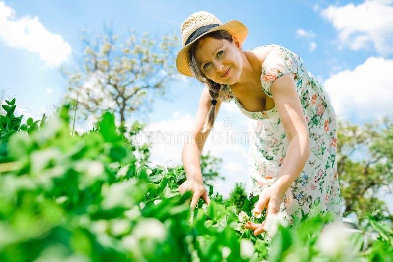 帽子的女性农夫检查成熟豌豆植物 库存照片