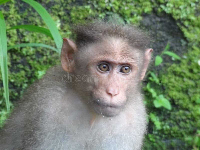 帽子短尾猿monky在行动 免版税库存图片