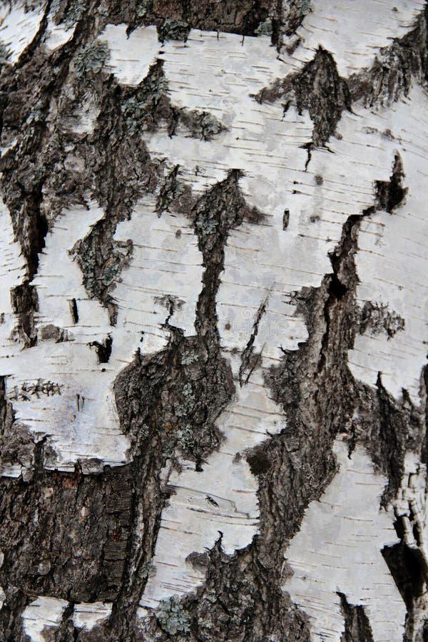 干净的白桦树皮 免版税库存图片