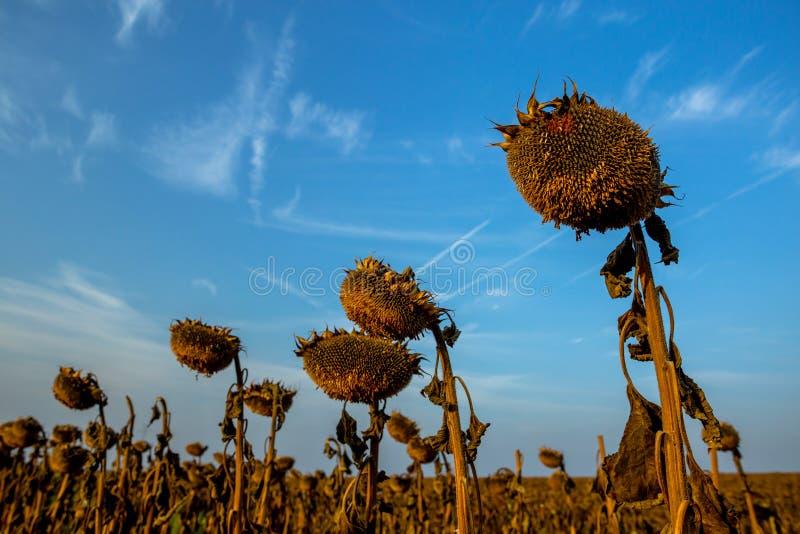 干成熟向日葵详细的剪影在领域的 库存图片
