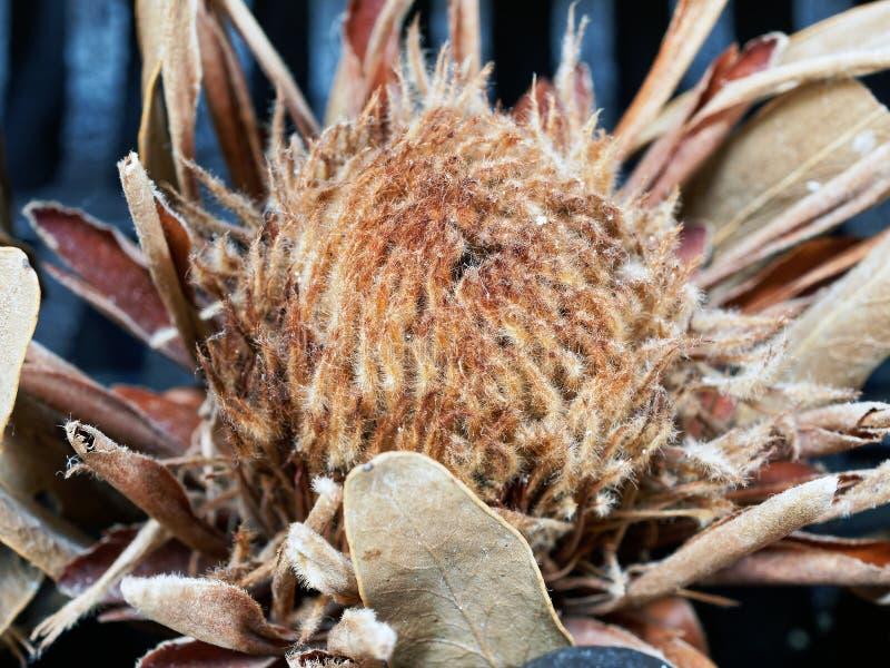 干普罗梯亚木花,柔滑的细节 免版税库存图片