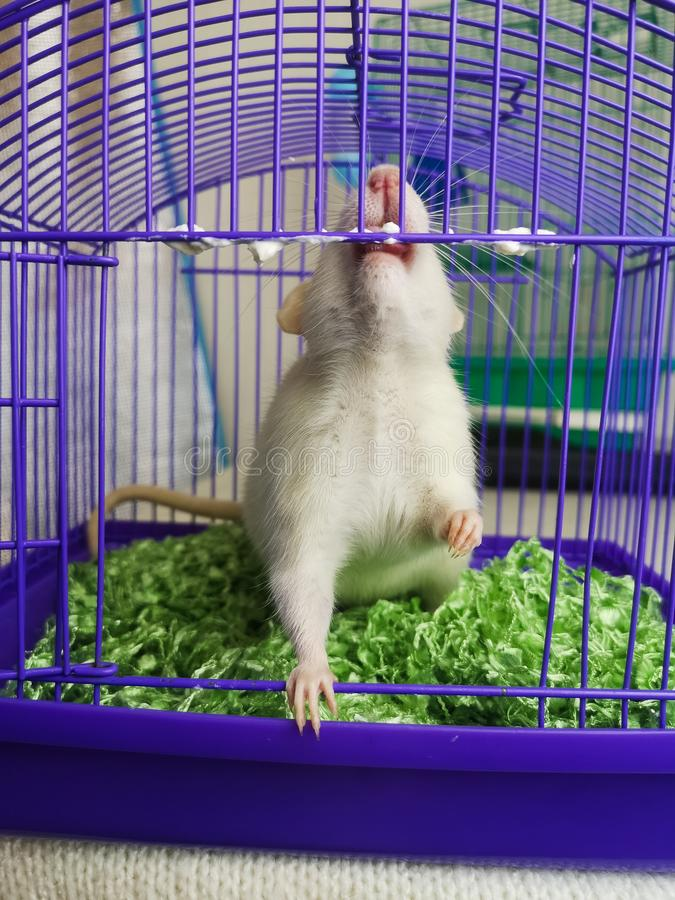 干渴的概念自由的 鼠咬笼子 库存图片