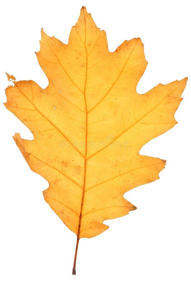 干燥叶子橡木 库存图片