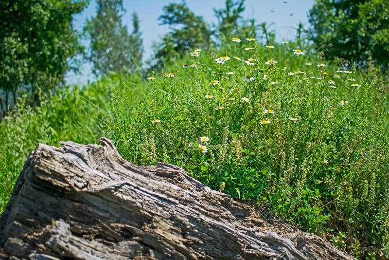 干燥木头和美丽的领域花在一个美好的夏日 免版税库存图片