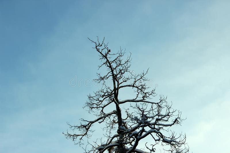 干燥木头杉树的上面的剪影反对天空的 库存照片