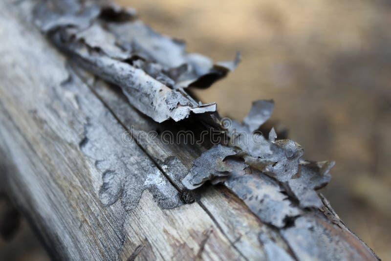 干燥杉木灰色树干 免版税库存照片