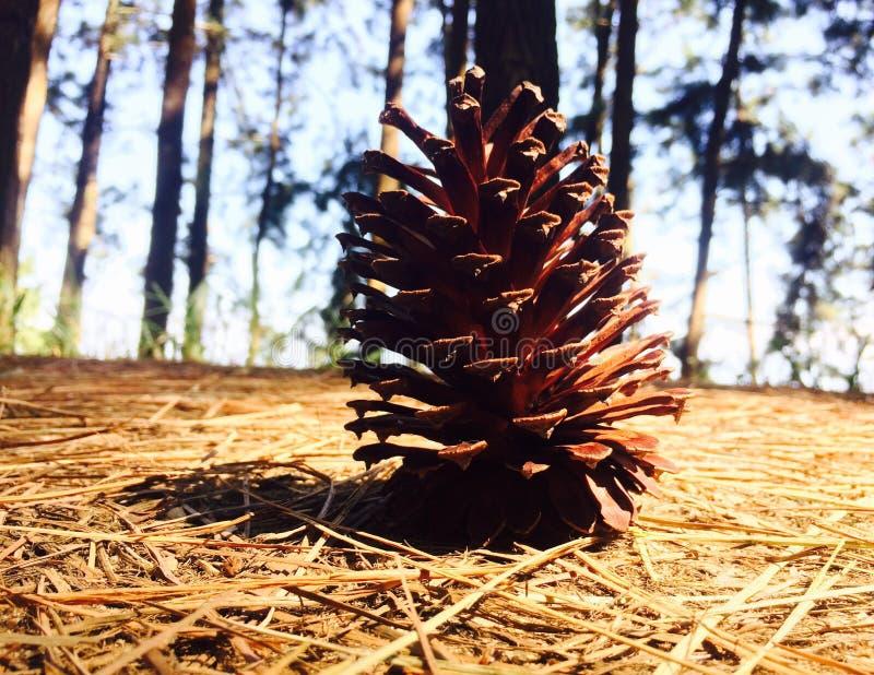 干燥杉木花 免版税图库摄影