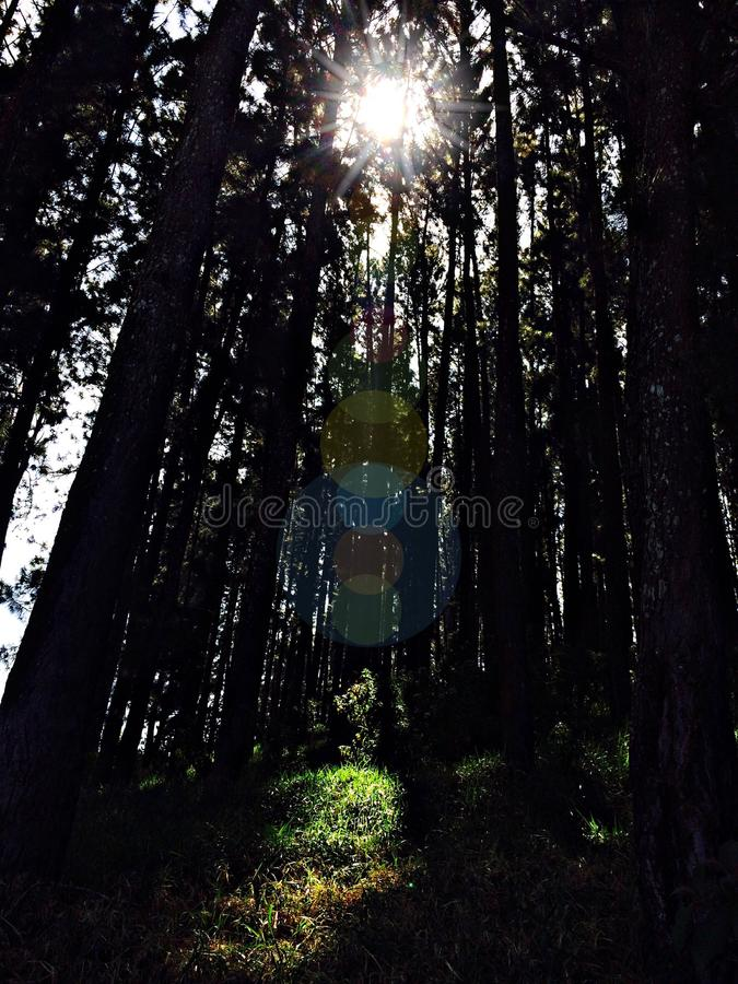 干燥杉木花 免版税库存照片