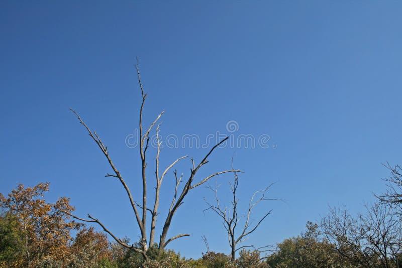 干燥树分支反对蓝天的 库存图片