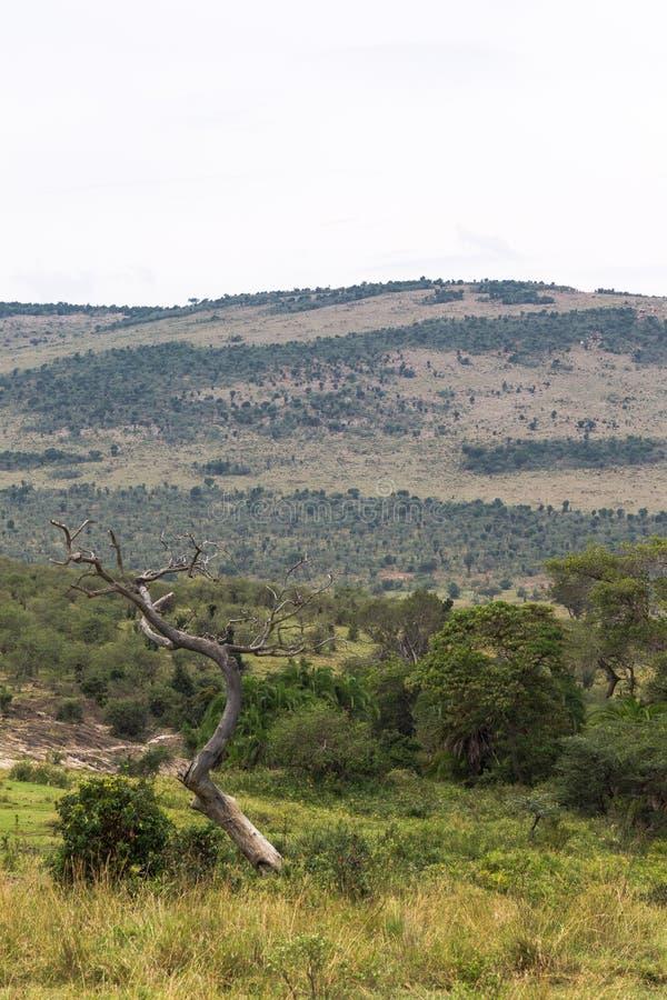 干燥树和小山 背景gloden横向一大草原结构树 mara马塞语 库存图片