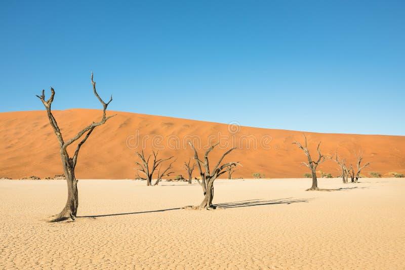 干燥树在沙漠在Deadvlei的火山口区域在Sossusvlei 图库摄影