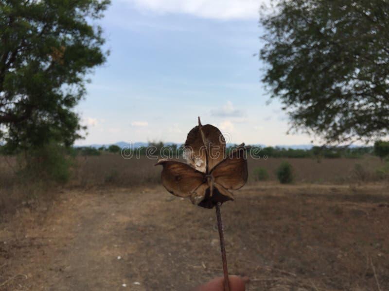 干燥棉花叶子 免版税图库摄影
