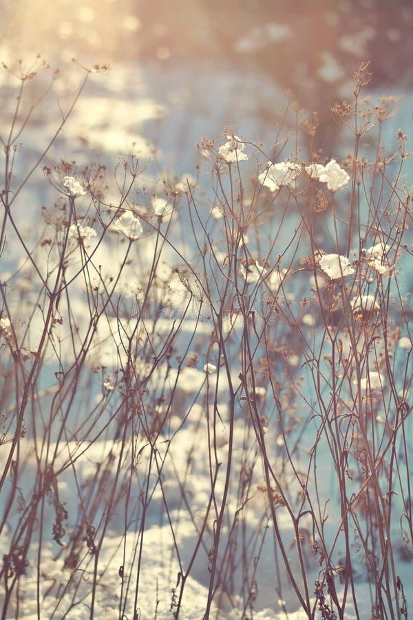 干燥植物分支有雪的 与阳光的升 库存图片