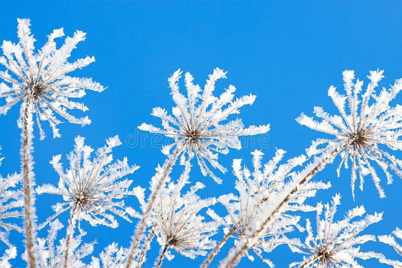 干燥植物分支用雪报道在冬天 库存照片