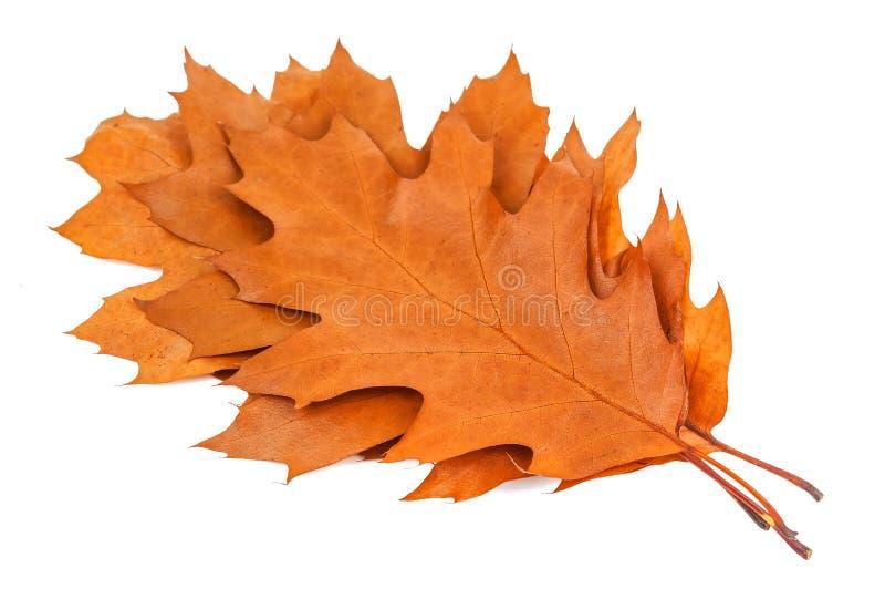 干燥橡木叶子 免版税库存照片