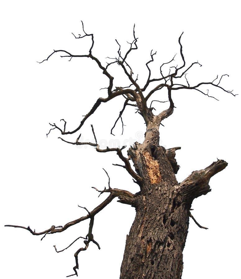 干燥橡木 免版税库存图片