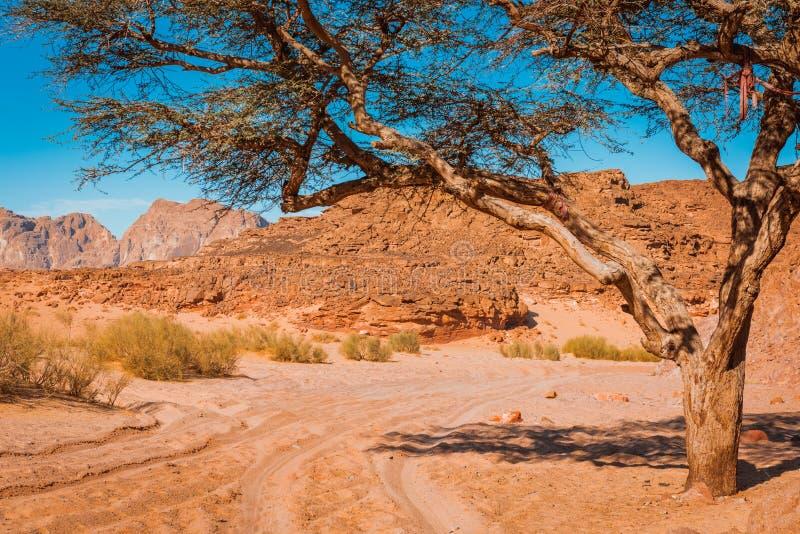 干燥沙漠和树西奈埃及 库存照片
