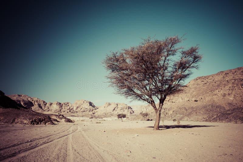 干燥沙漠和树西奈埃及 免版税库存图片