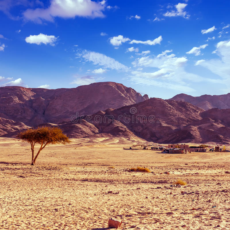 干燥沙漠树和beduin村庄西奈埃及 免版税库存图片