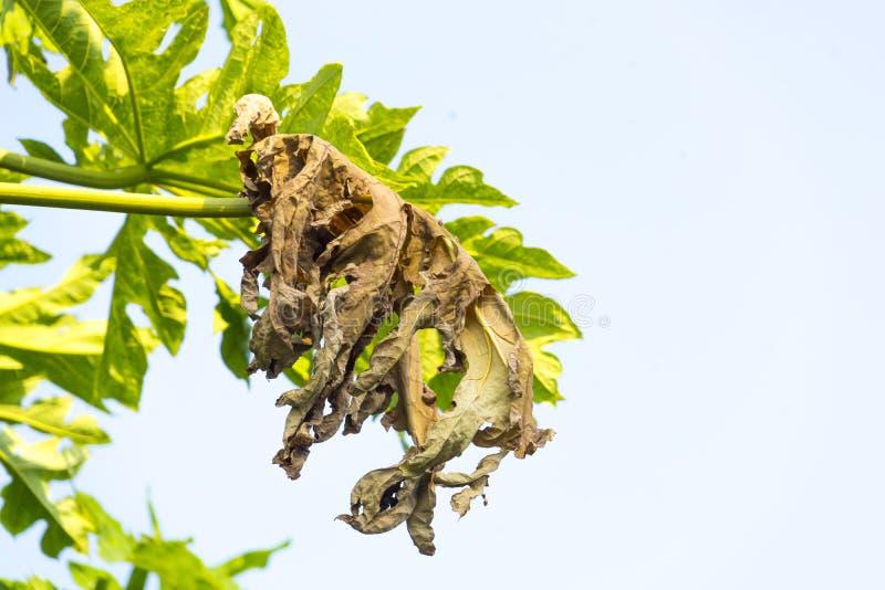 干燥番木瓜叶子 免版税图库摄影