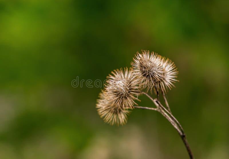 干燥的植物名 库存图片