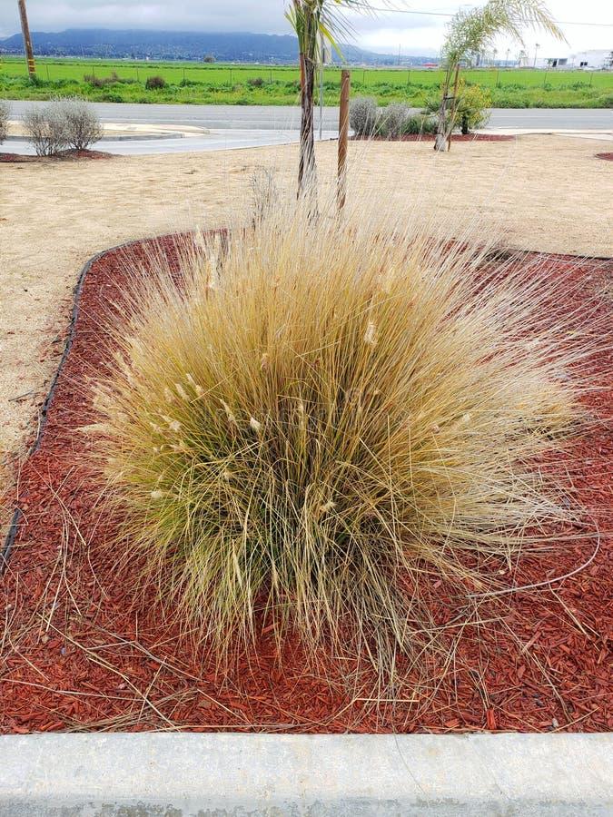 干燥碱sacation植物 免版税库存照片