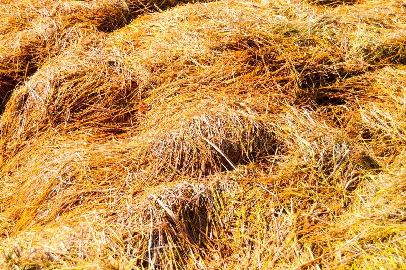 干燥稻的干草 免版税库存图片