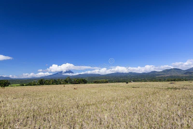 干燥米领域 库存照片