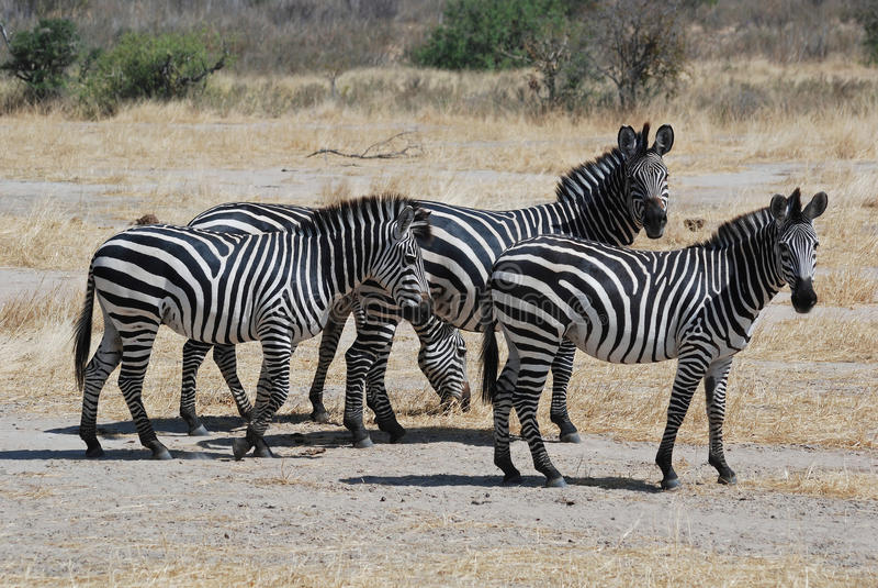 干燥组大草原小的坦桑尼亚斑马 库存照片